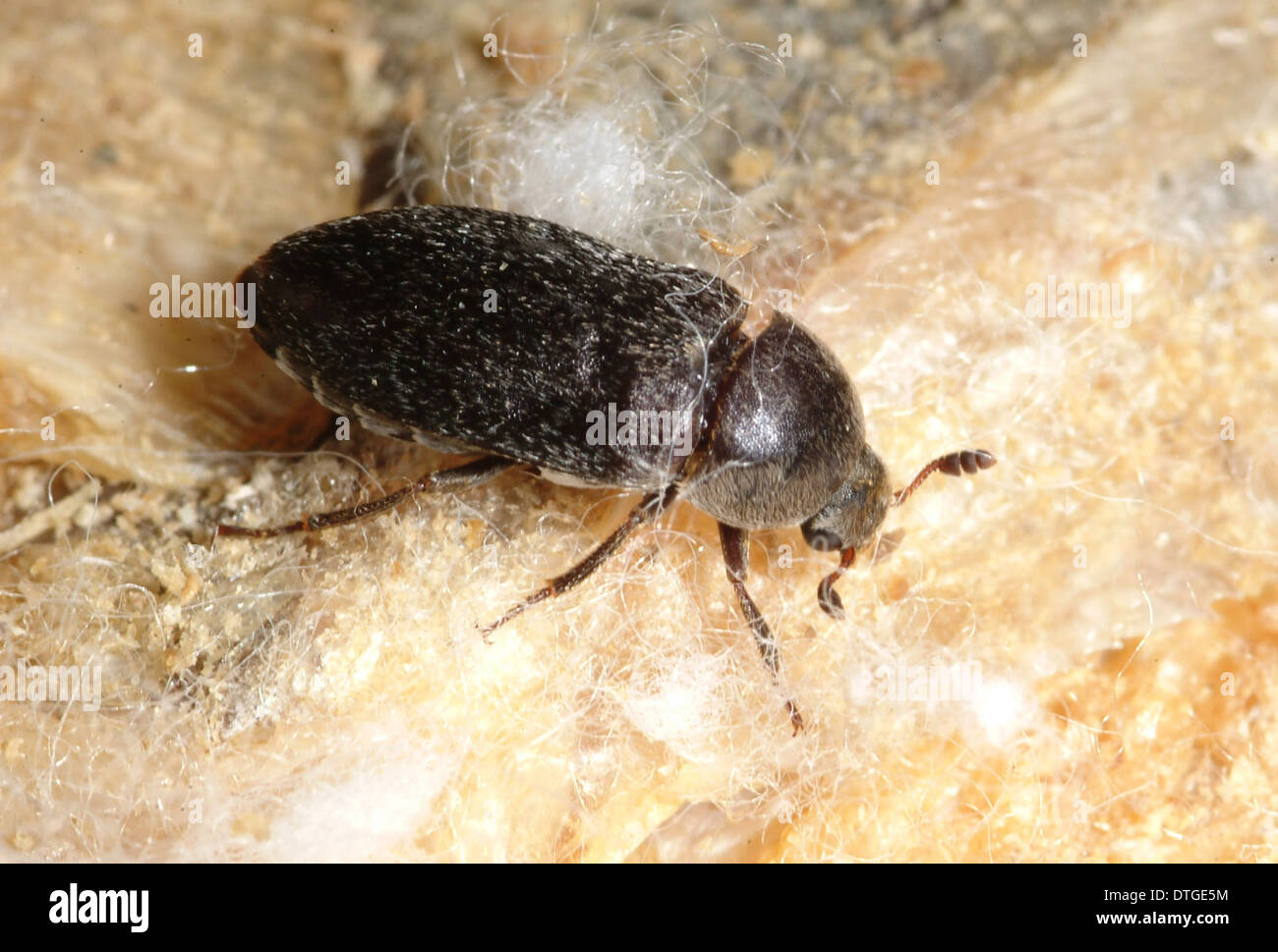 Dermestes maculatus, flesh-eating beetle Stock Photo
