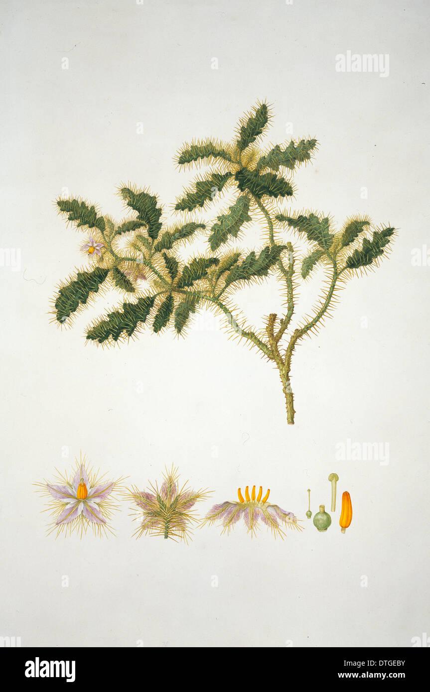 Solanum hystrix, Afghan thistle - Stock Image