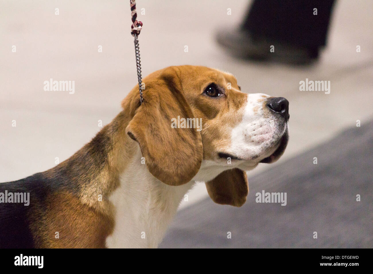 Beagle looking up at his handler in the show ring at the Ontario Breeders Dog Show in Lindsay, Ontario - Stock Image