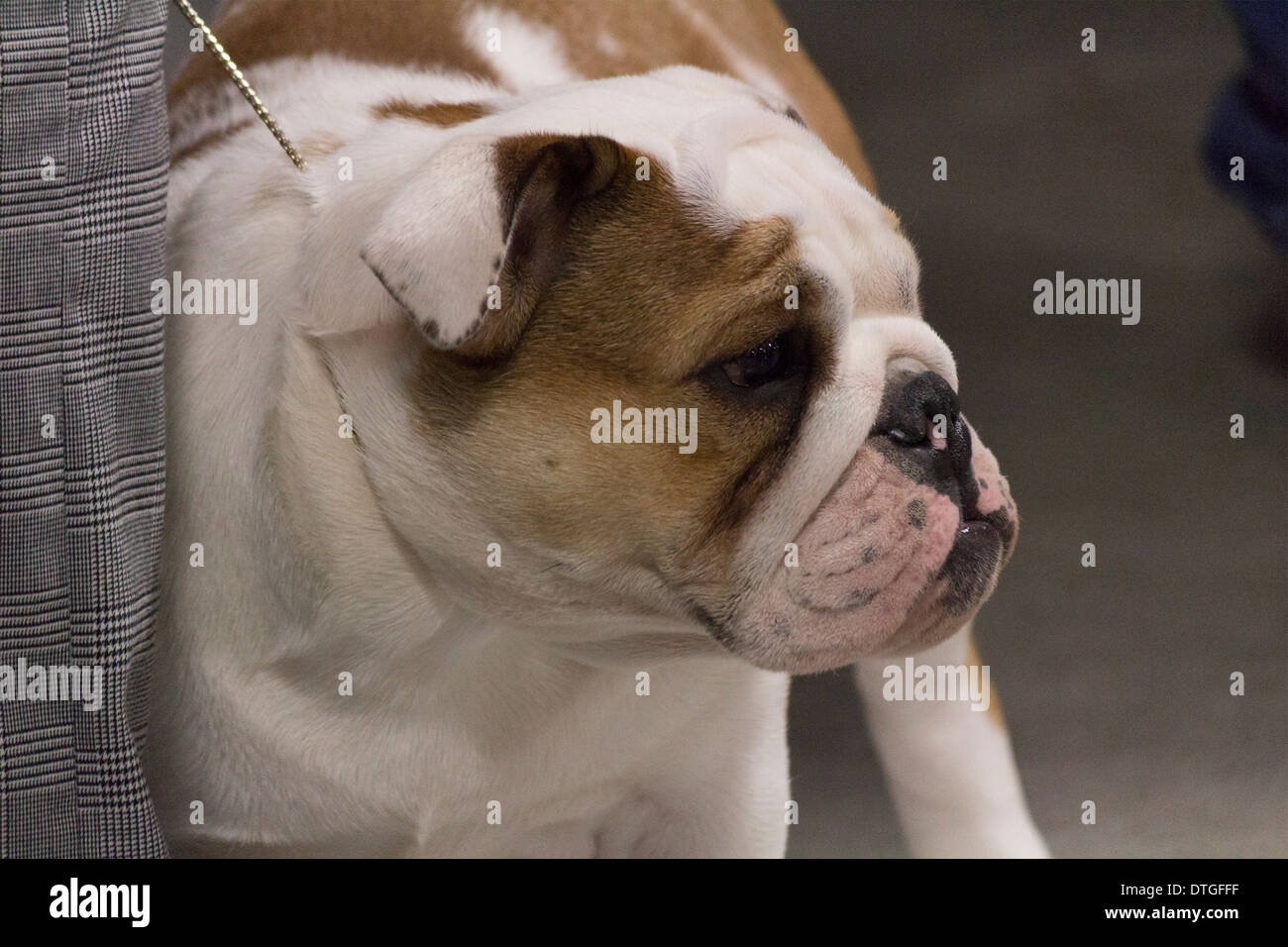 English Bulldog waiting his turn to go in the ring at the ...