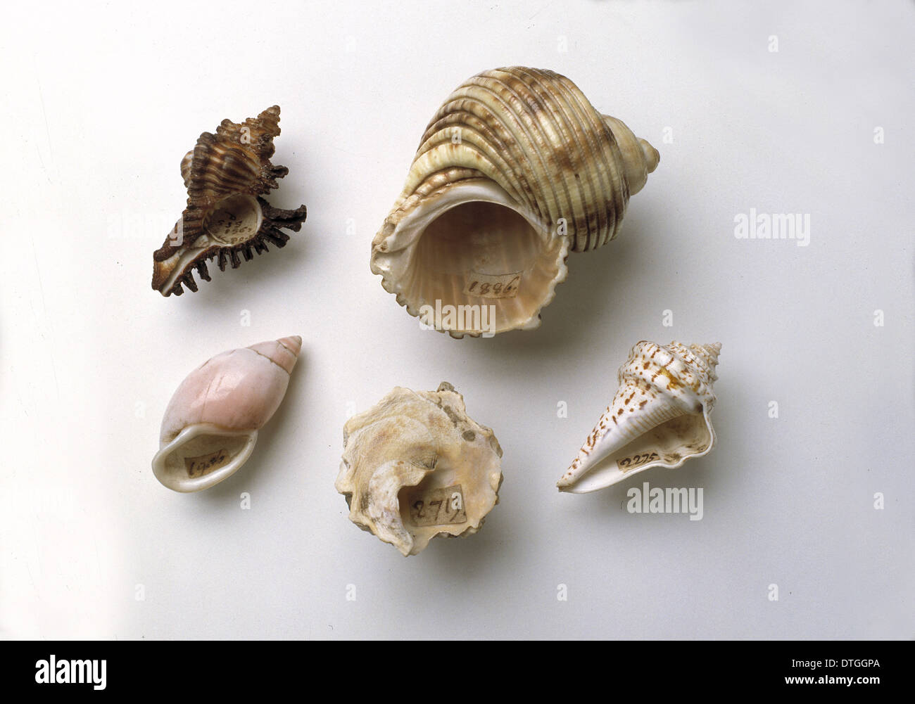 Sir Hans Sloane's collection of shells - Stock Image