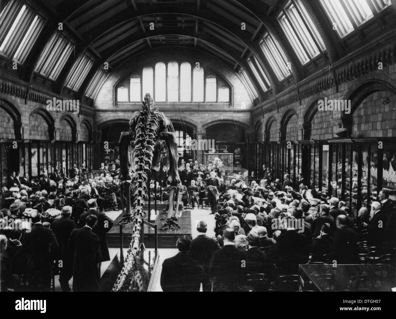 Diplodocus carnegii, presented by Mr Andrew Carnegie and unveiled by Lord Avebury. 12 May, 1905. - Stock Image