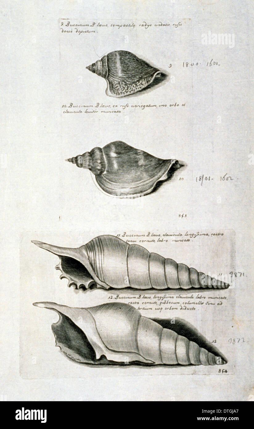 Strombus pugilis, West Indian fighting conch - Stock Image