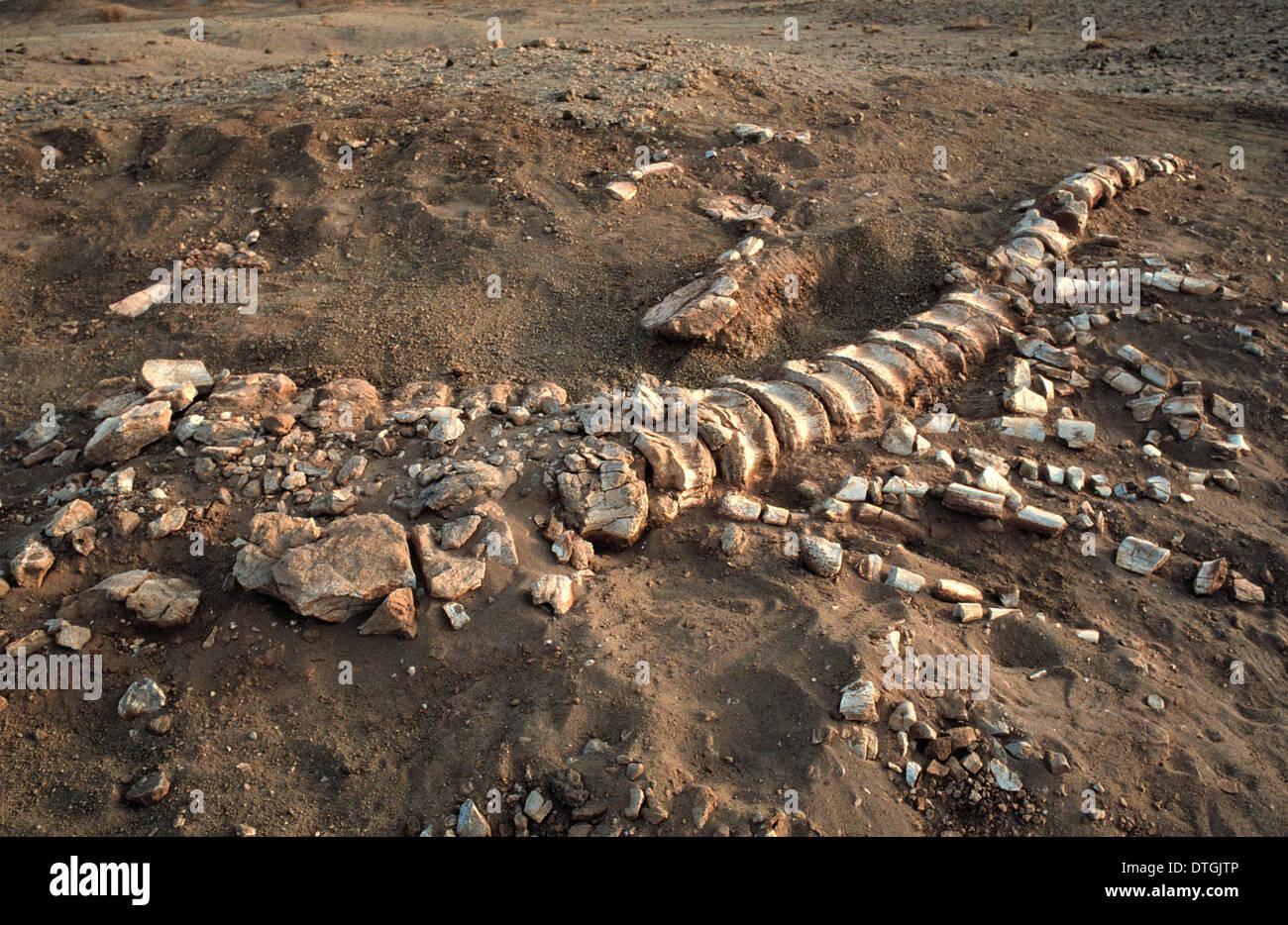 Dinosaur tail bones - Stock Image