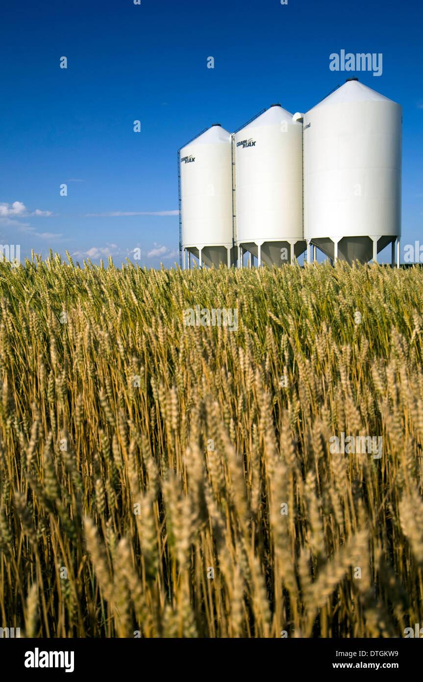 Wheat field and Silos north-east of Bassano, Alberta, Canada. - Stock Image