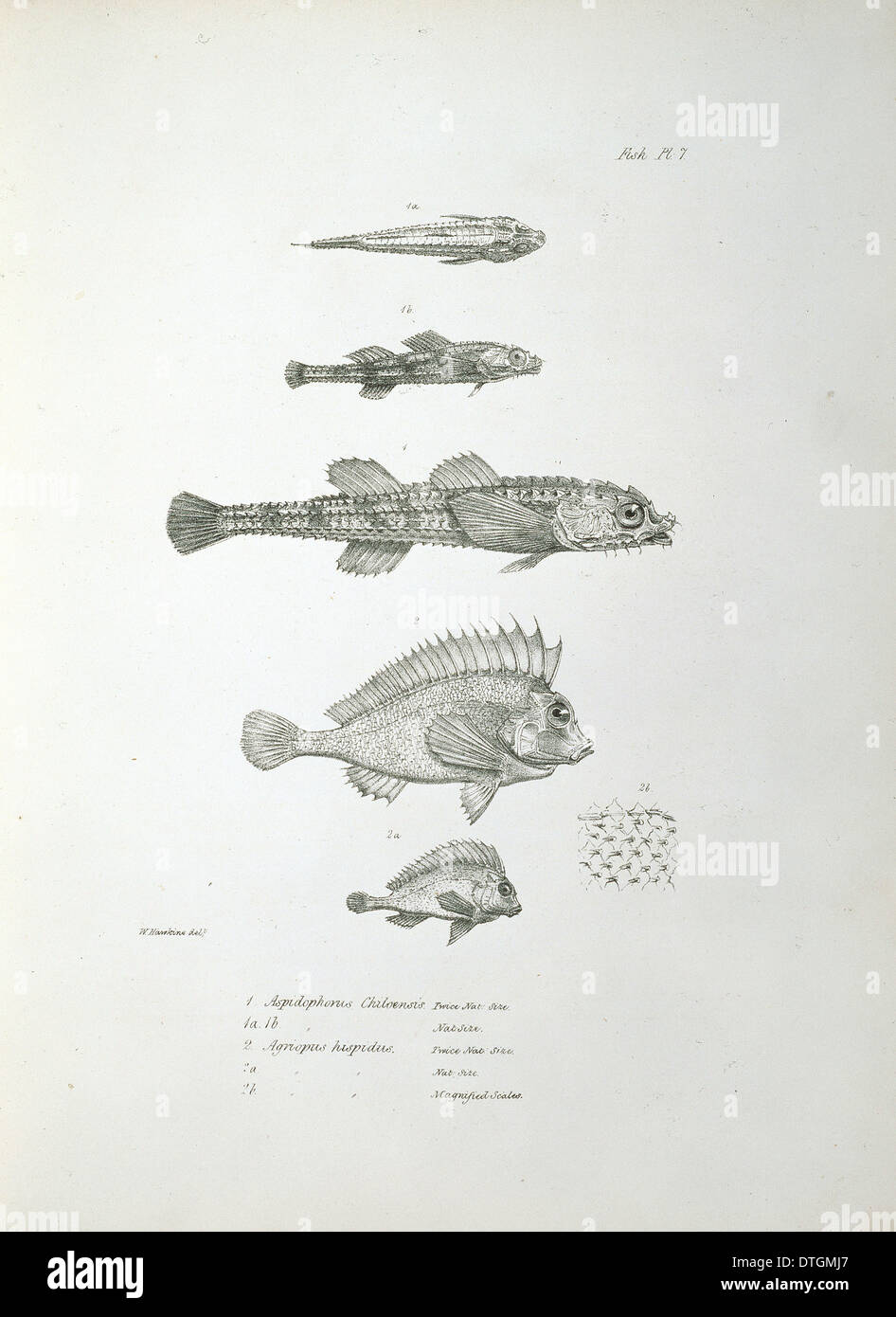 Plate from Charles Darwin's Zoology of the Voyage of the Beagle - Stock Image