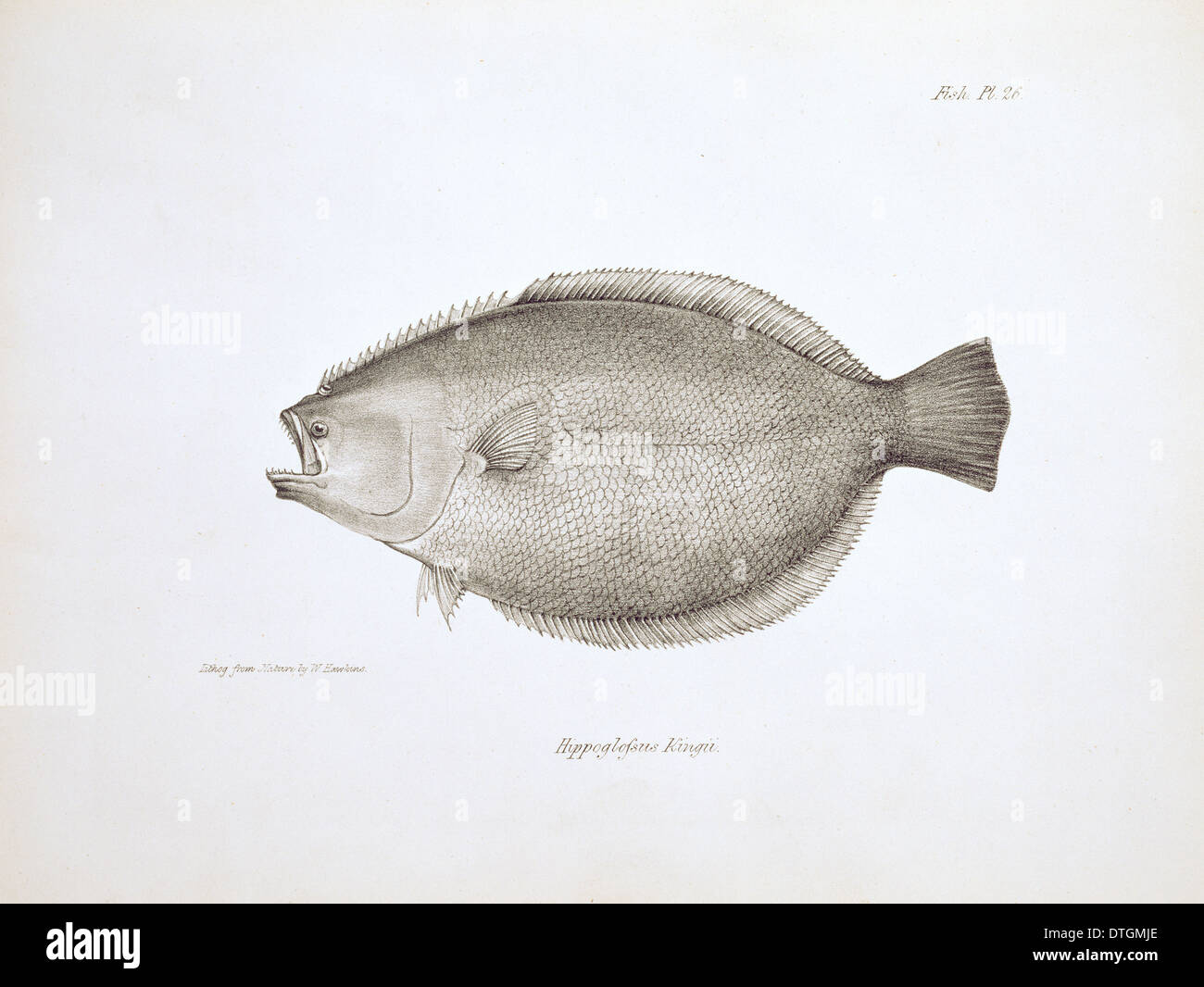 Paralichthys adspersus, fine flounder - Stock Image