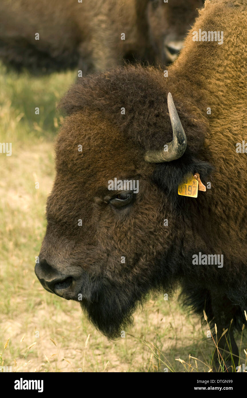 Domesticated Buffalo grazing in farm field outside Rosetown, Saskatchewan, Canada. - Stock Image