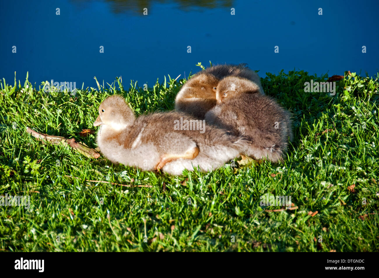 Three Goslings on Riverbank - Stock Image