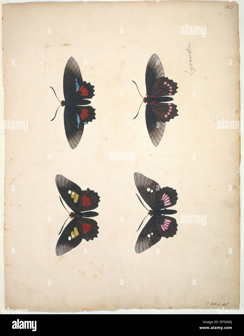 Unpublished lepidoptera watercolour by Eleazar Albin - Stock Image