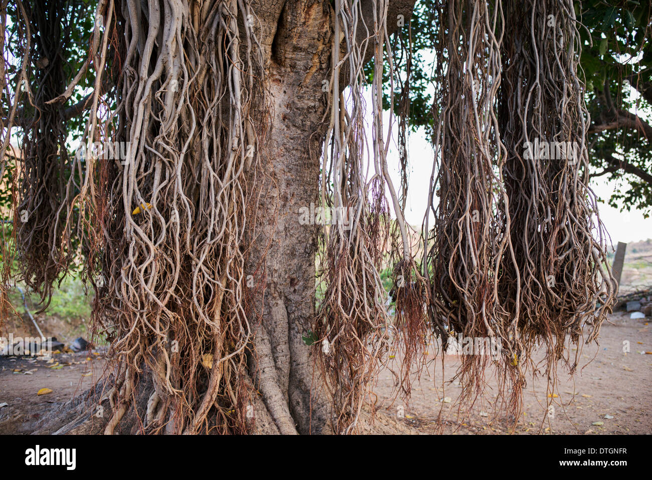 Wonderful Aerial Root Ficus Benjamina - ficus-benghalensis-indian-banyan-tree-with-aerial-prop-roots-india-DTGNFR  Picture_66884.jpg