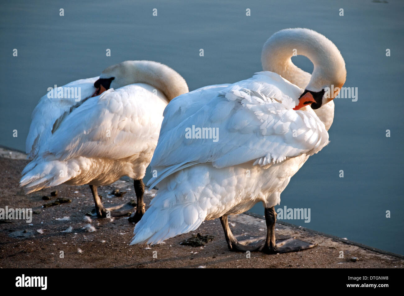 Two Swans Preening on Riverbank - Stock Image