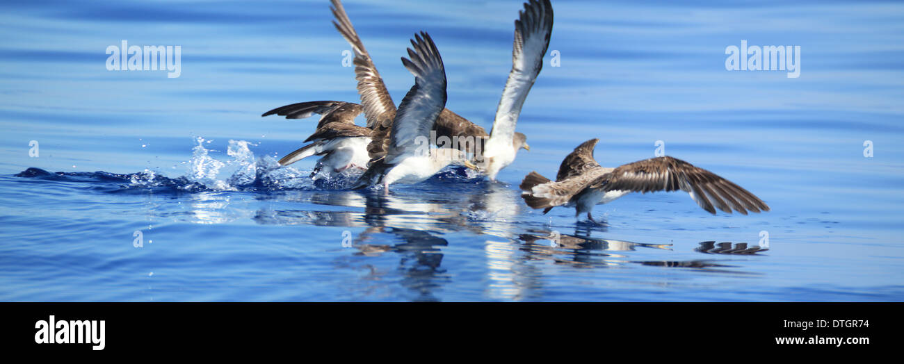 A raft of Cory Shearwaters (Calonectris diomedea) take off. - Stock Image