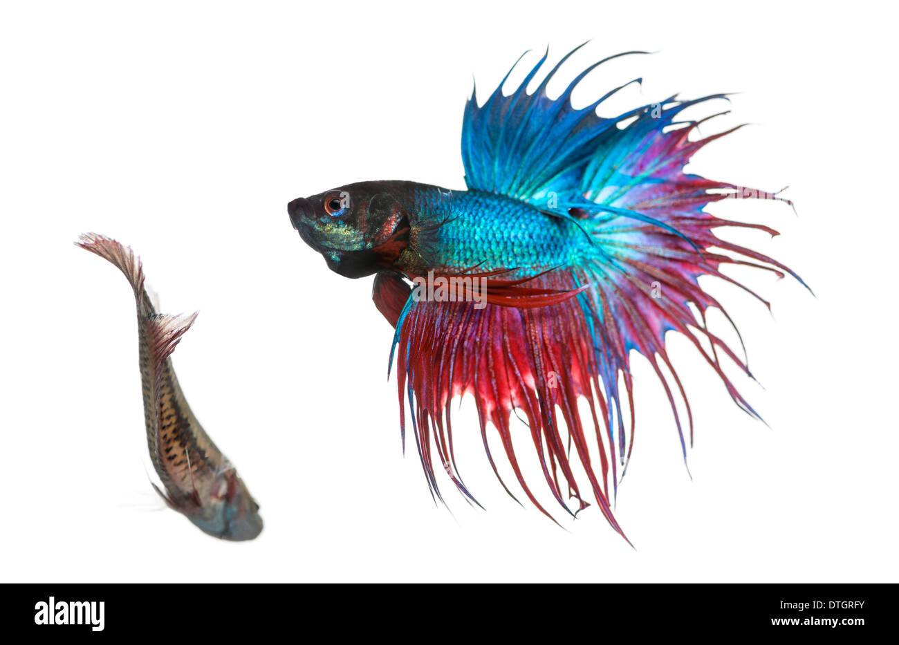 Male and female Siamese fighting fish in a courtship dance, Betta splendens, against white background - Stock Image