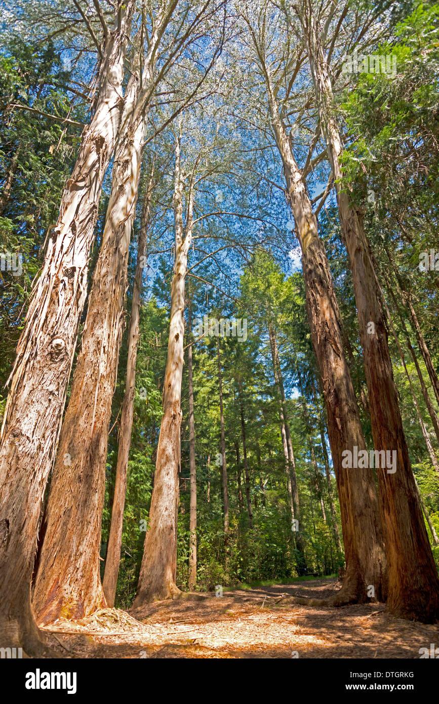 Trees, giant Eucalyptus Trees or Australian Oaks(Eucalyptus regnans), Eastwoodhill National Arboretum near Gisborne, East Cape - Stock Image
