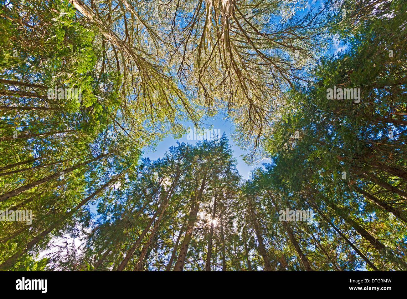Canopy of giant Eucalyptus trees, Australian Oaks (Eucalyptus regnans), Eastwoodhill, National Arboretum, near Gisborne - Stock Image