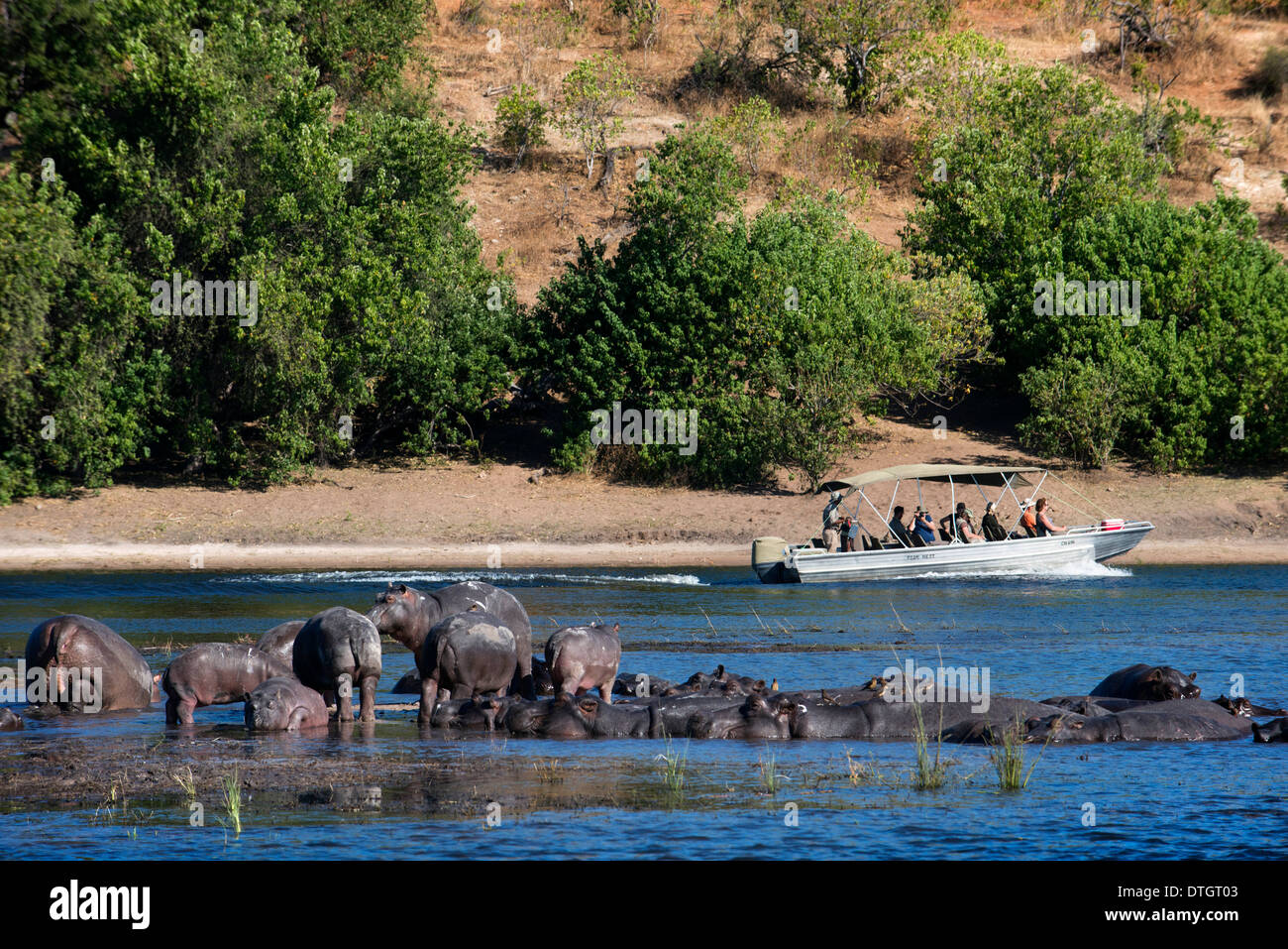 From Victoria Falls is possible to visit the nearby Botswana. Specifically Chobe National Park. Hippos. - Stock Image