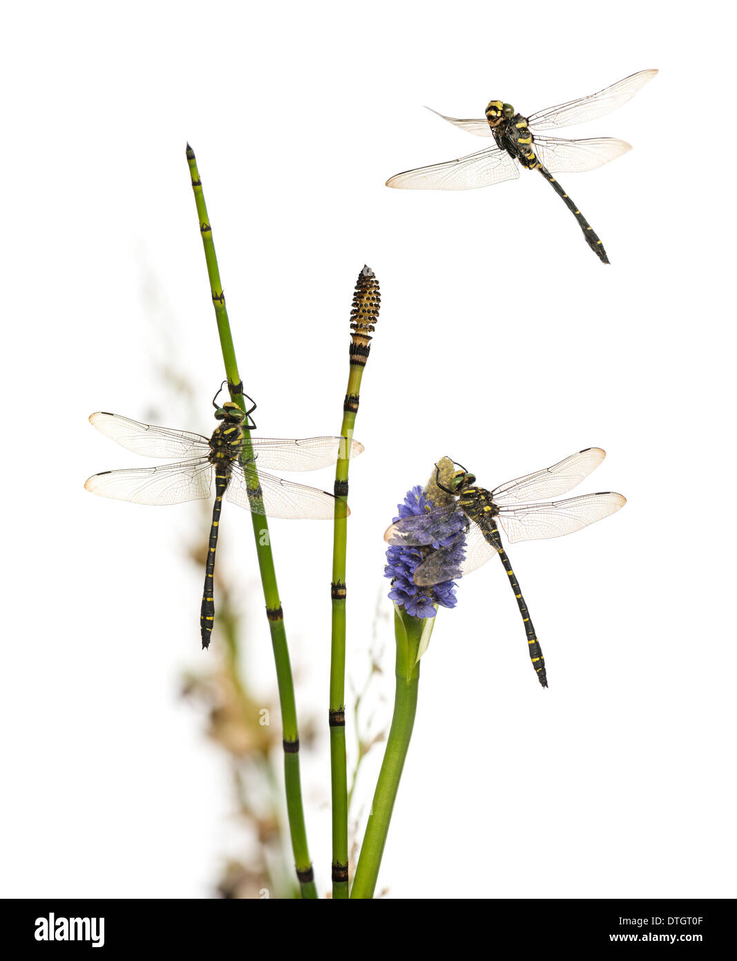 Group of Cordulegaster bidentata dragonflies on plant, in front of white background - Stock Image
