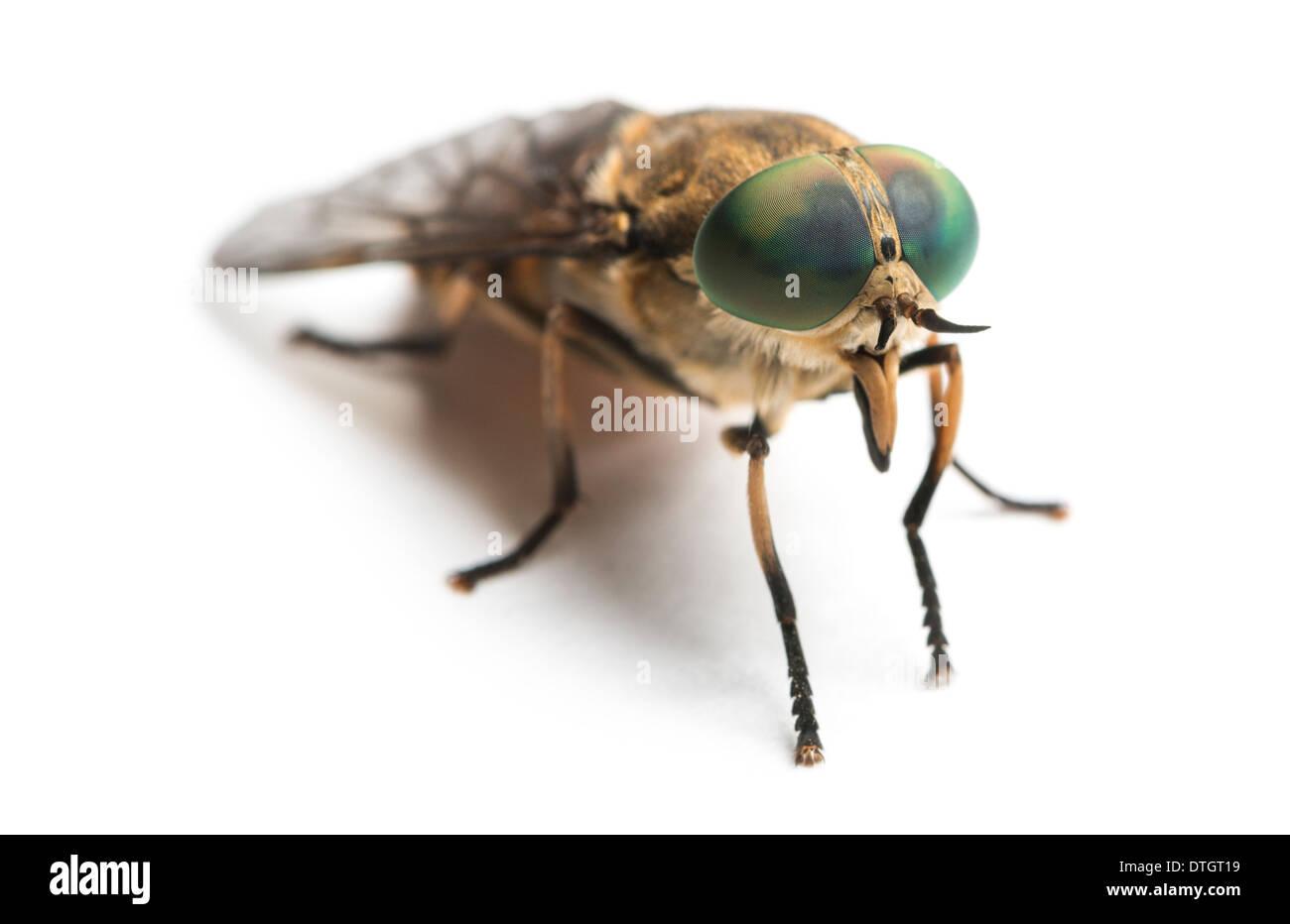 Horsefly, Tabanus, against white background Stock Photo