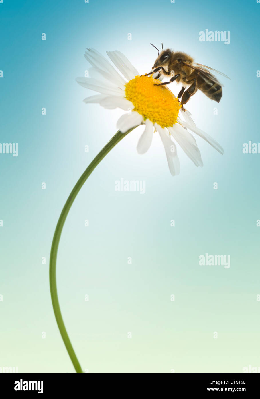 European honey bee gathering pollen on a daisy, Apis mellifera, on a blue background - Stock Image