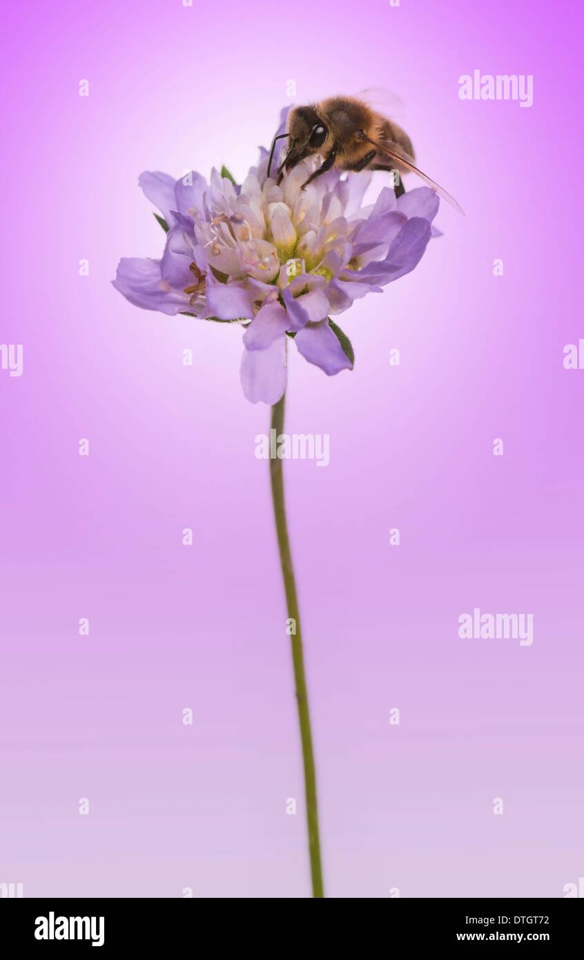 European honey bee, Apis mellifera foraging pollen on a flower, on a purple background - Stock Image