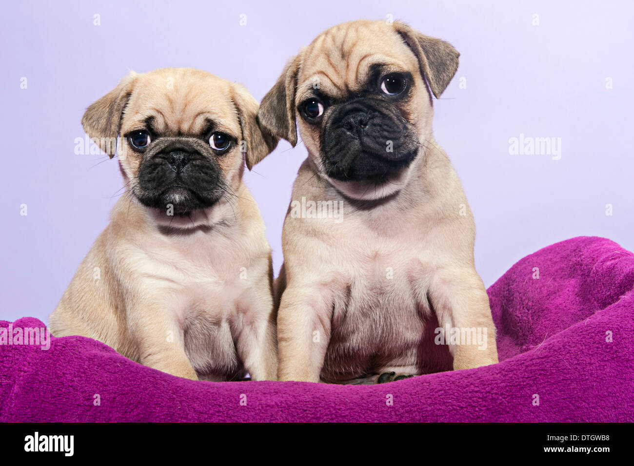 Two Pugs, puppies - Stock Image