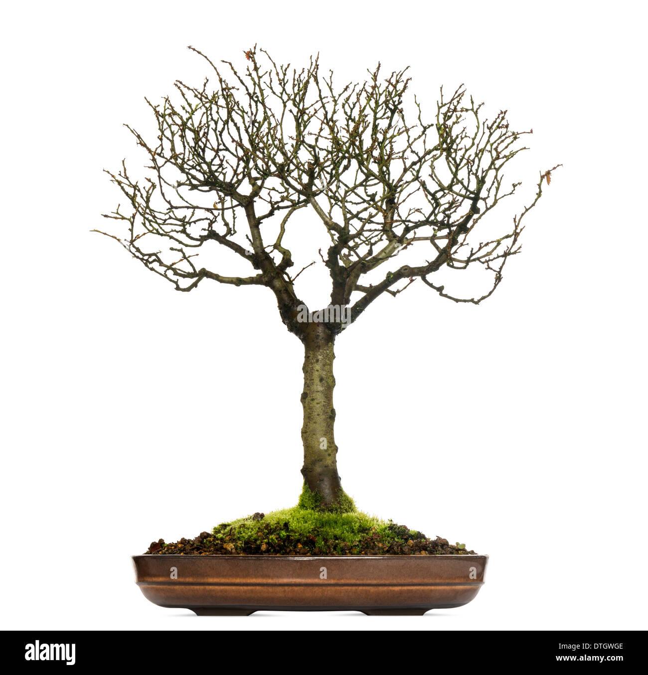 Zelkova bonsai tree, against white background - Stock Image