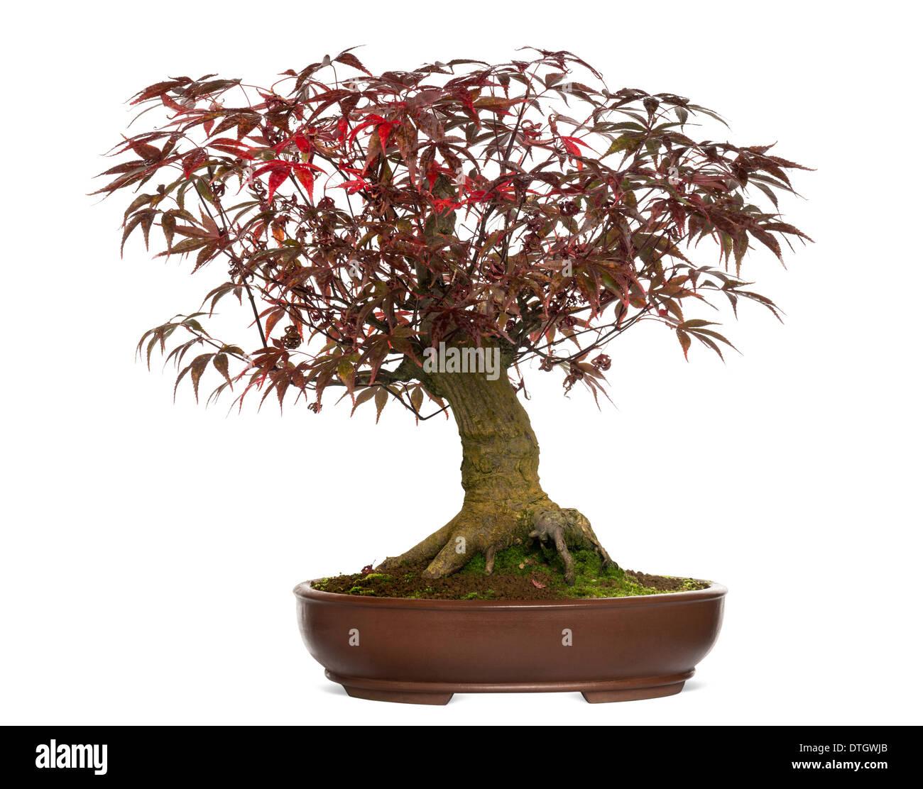 Japanese Maple bonsai tree, Acer palmatum, against white background - Stock Image