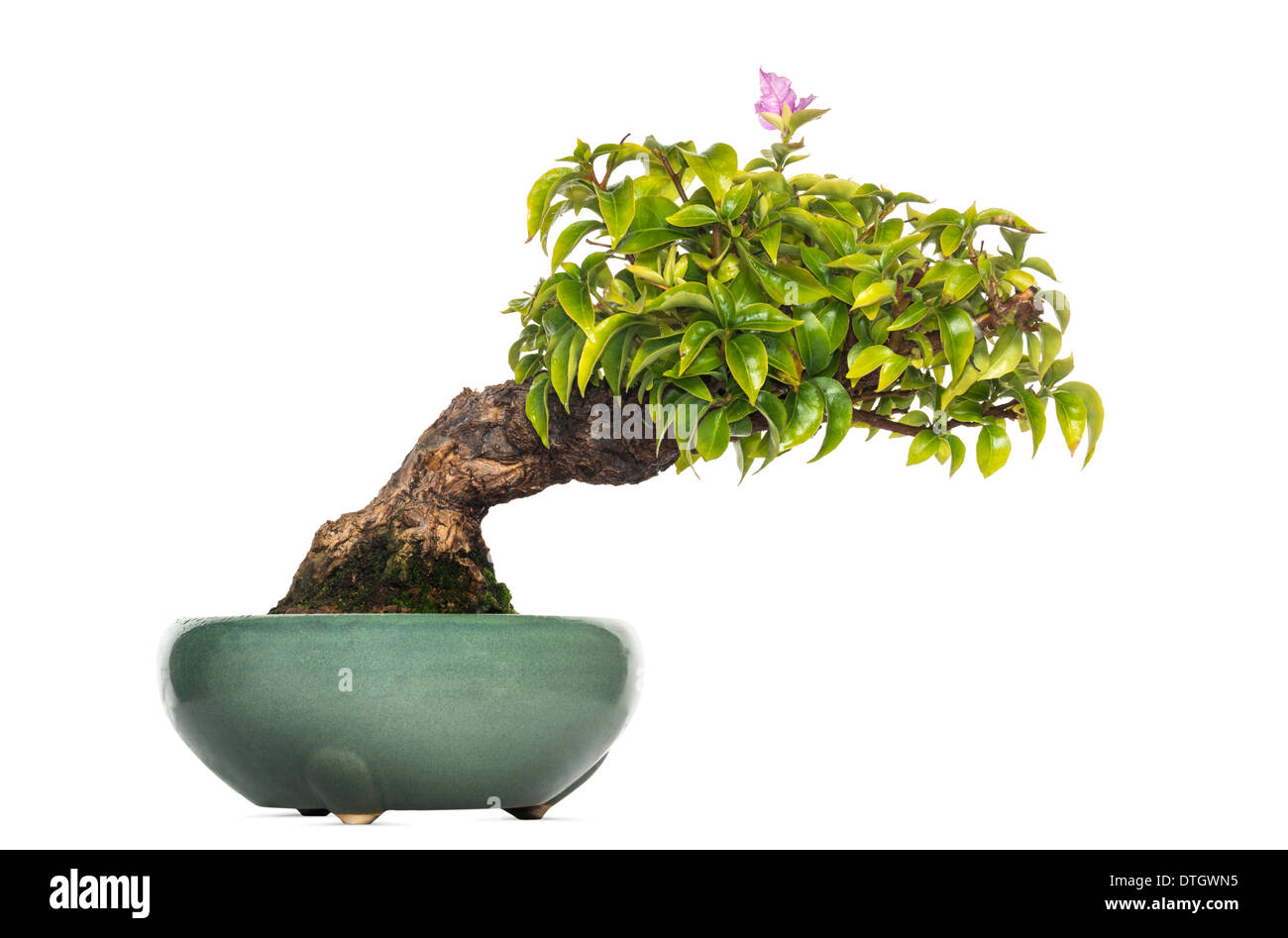 Bougainvillea bonsai tree, Bougainvillea glabra, against white background - Stock Image