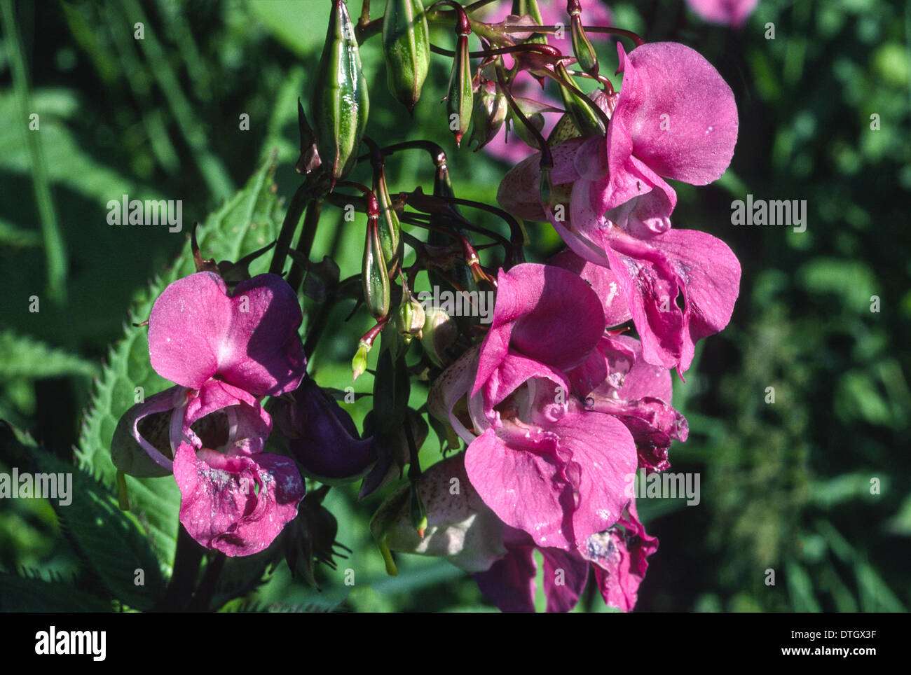 Deep pink flowers and green seed pods of the himalayan balsam plant deep pink flowers and green seed pods of the himalayan balsam plant impatiens glandulifera mightylinksfo