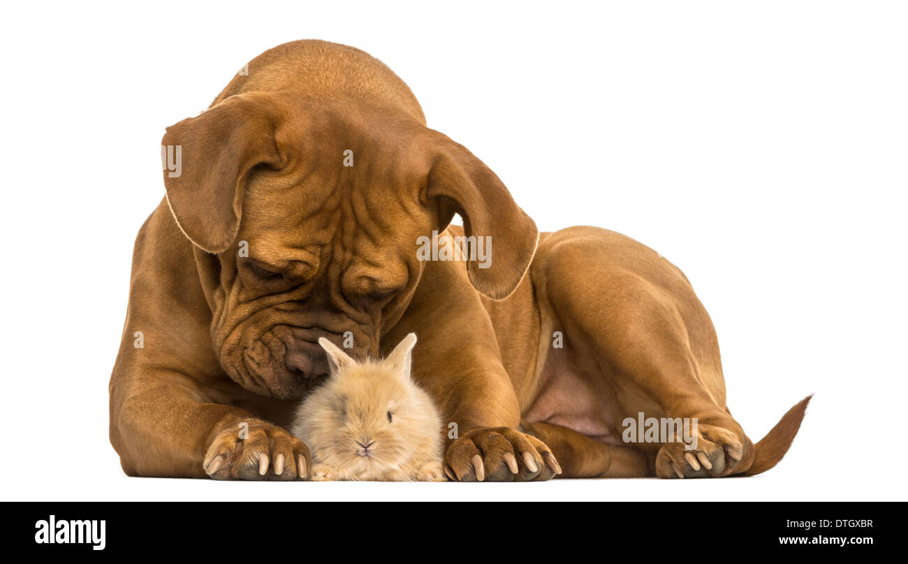 Dogue de Bordeaux smelling a Rex rabbit against white background - Stock Image