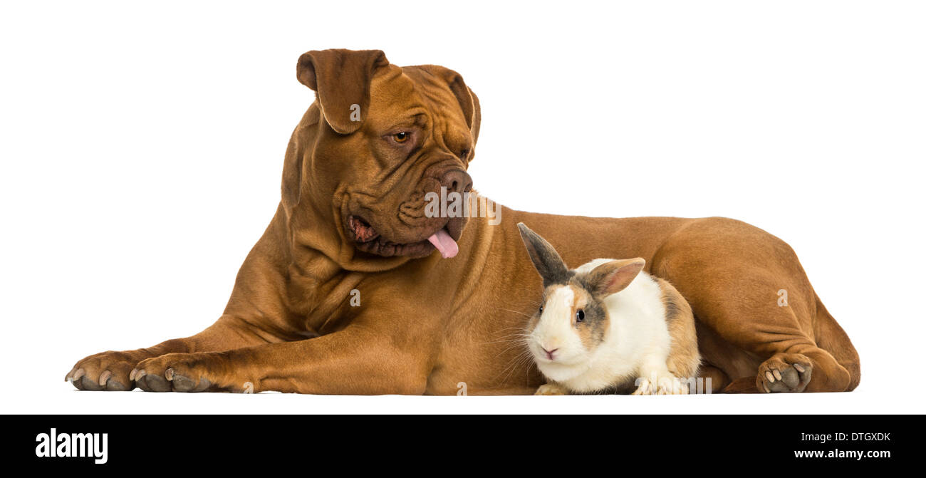 Dogue de Bordeaux panting and rabbit lying together against white background - Stock Image
