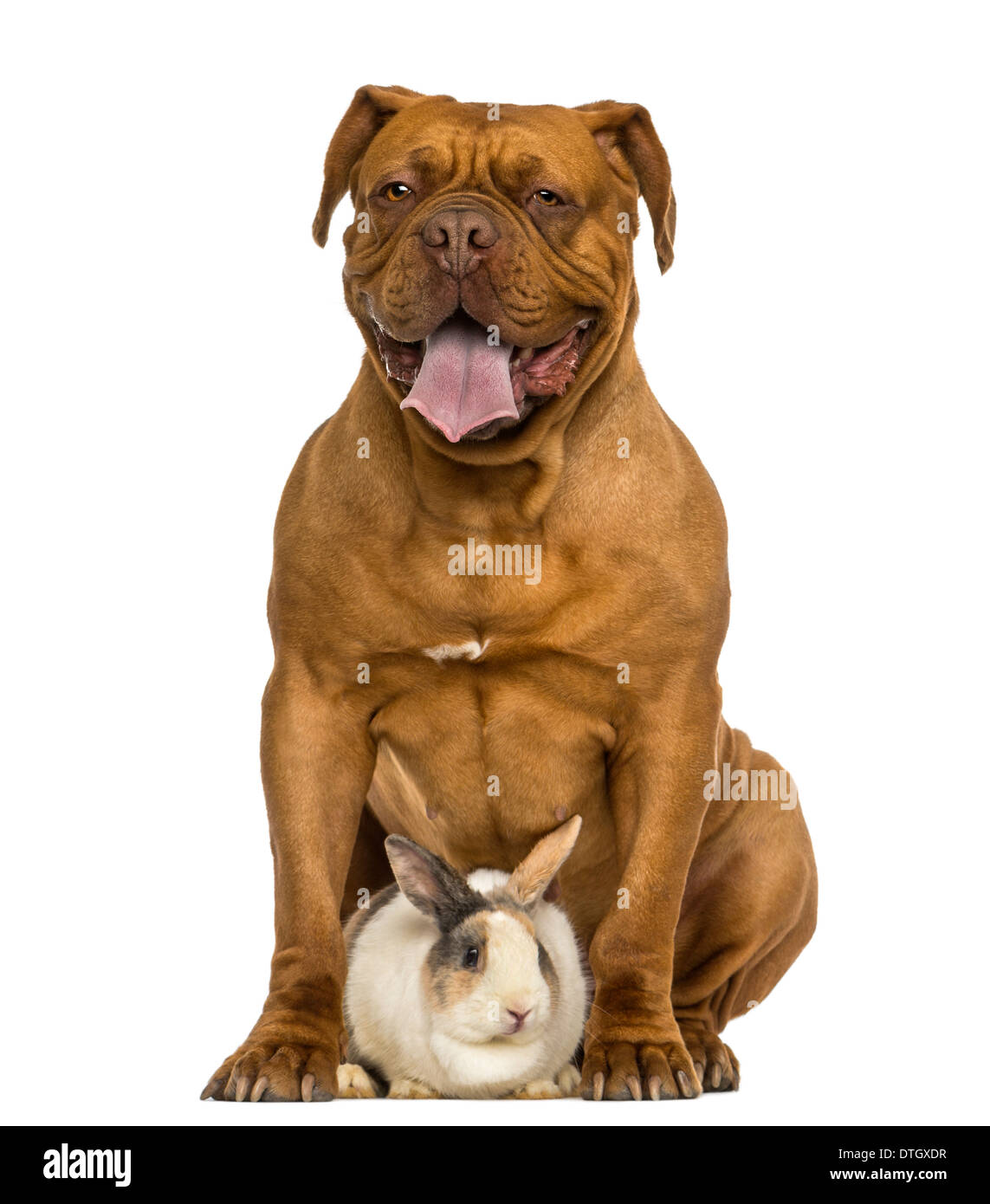 Front view of a Dogue de Bordeaux panting, sitting with a rabbit against white background - Stock Image