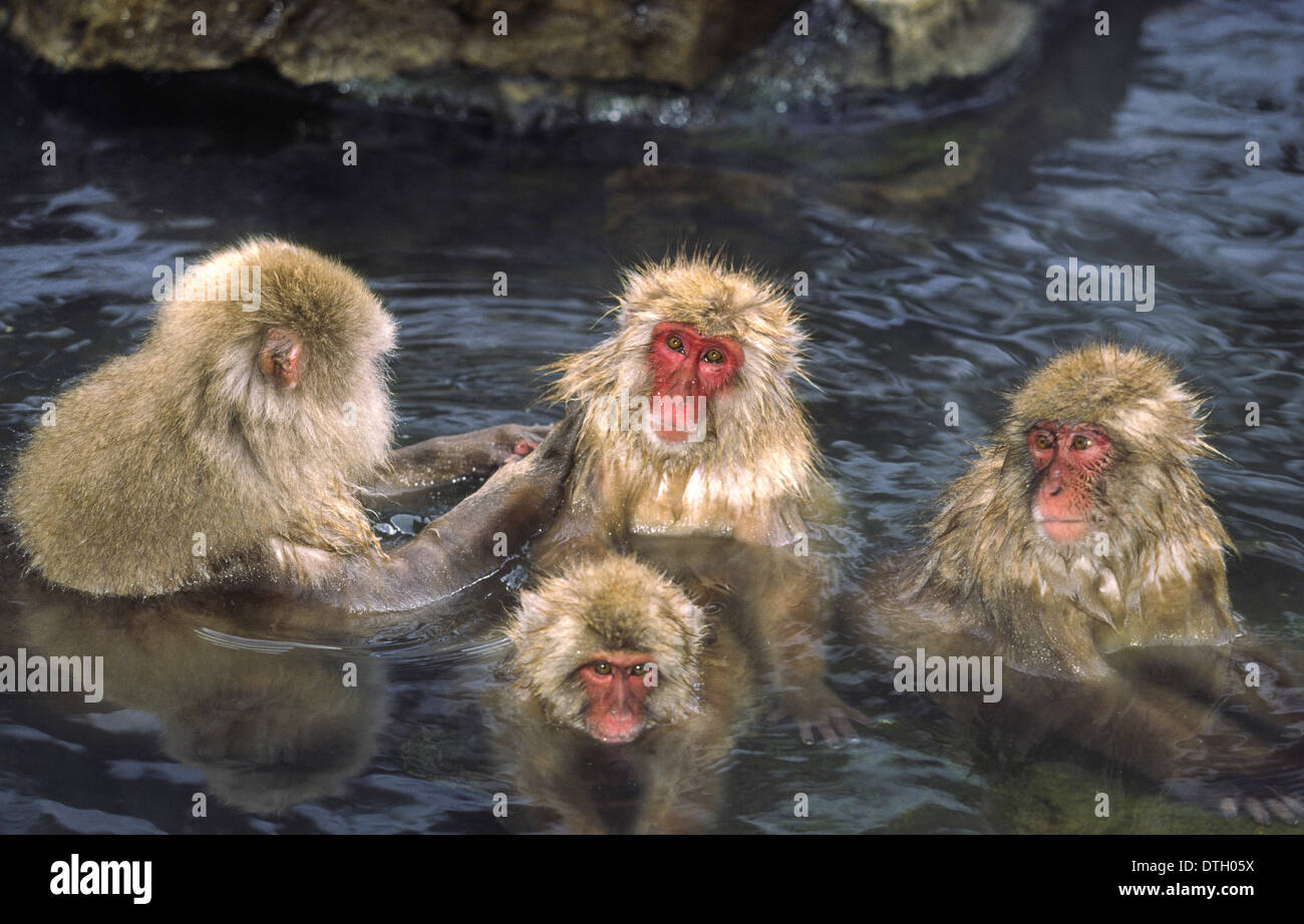 FOUR SNOW MONKEYS [JAPANESE MACAQUE  (Macaca fuscata) ] BATHING IN  A THERMAL POOL  IN THE JAPANESE ALPS Stock Photo