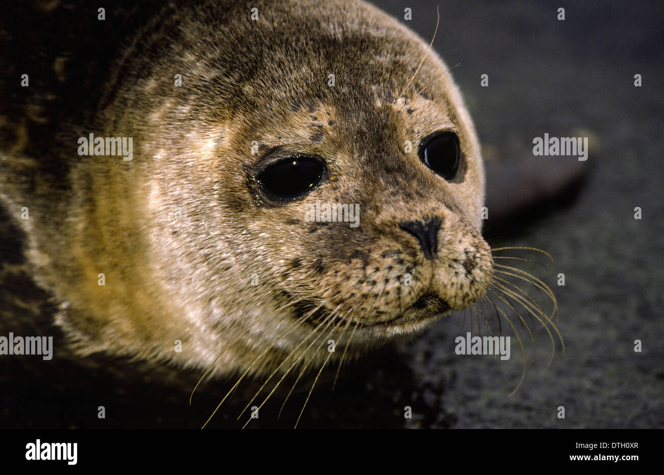 COMMON [ HARBOUR ] SEAL PUP (Phoca vitulina)  IN THE  ORKNEY ISLANDS SCOTLAND - Stock Image