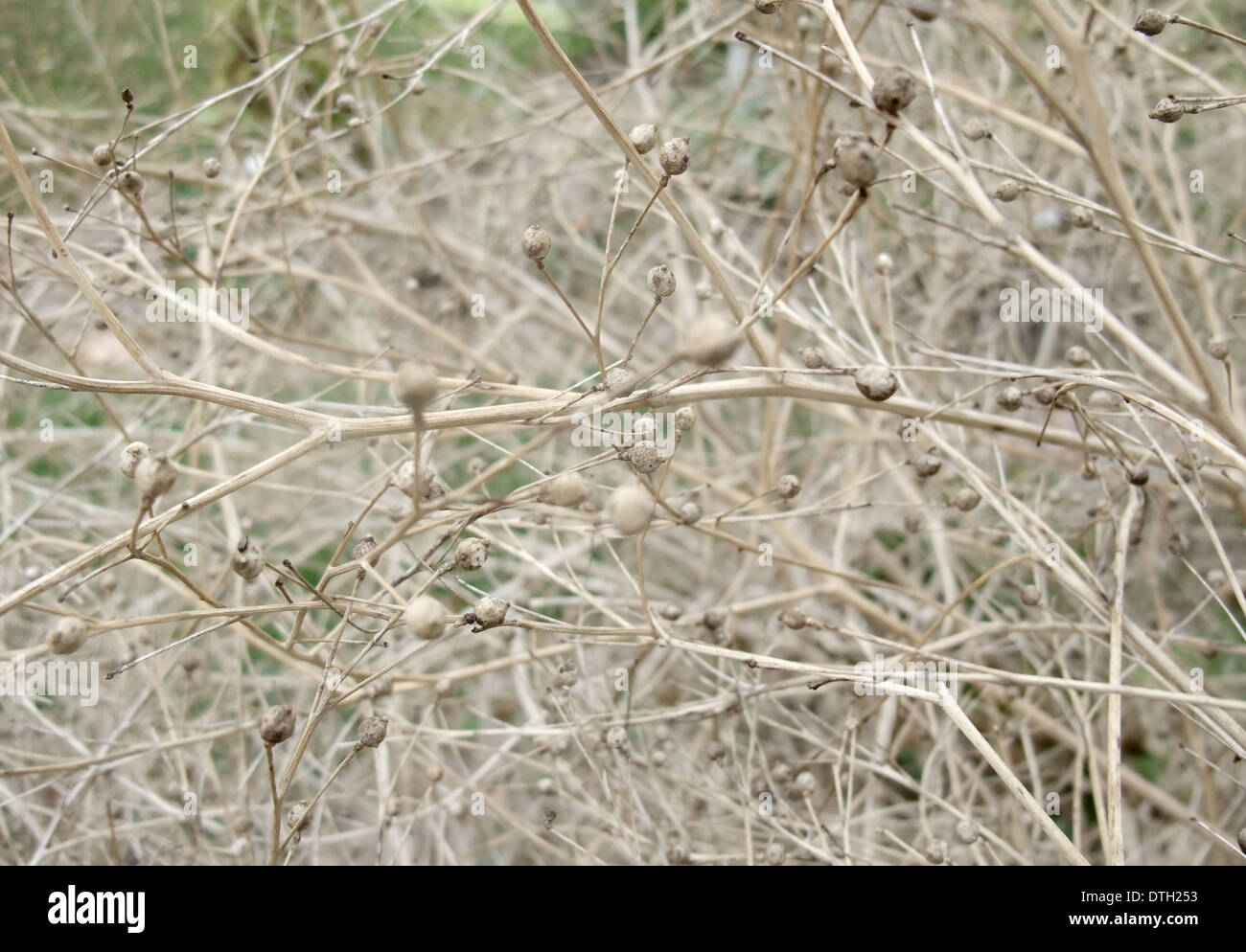 full frame abstract background showing sere twigs, stalks and stipes - Stock Image