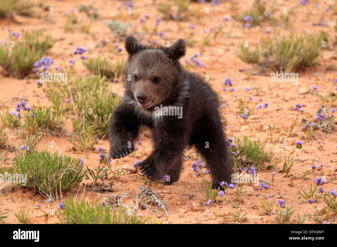 Grizzly Bear, 3 months, Monument Valley, Utah, USA / (Ursus arctos horribilis) - Stock Image