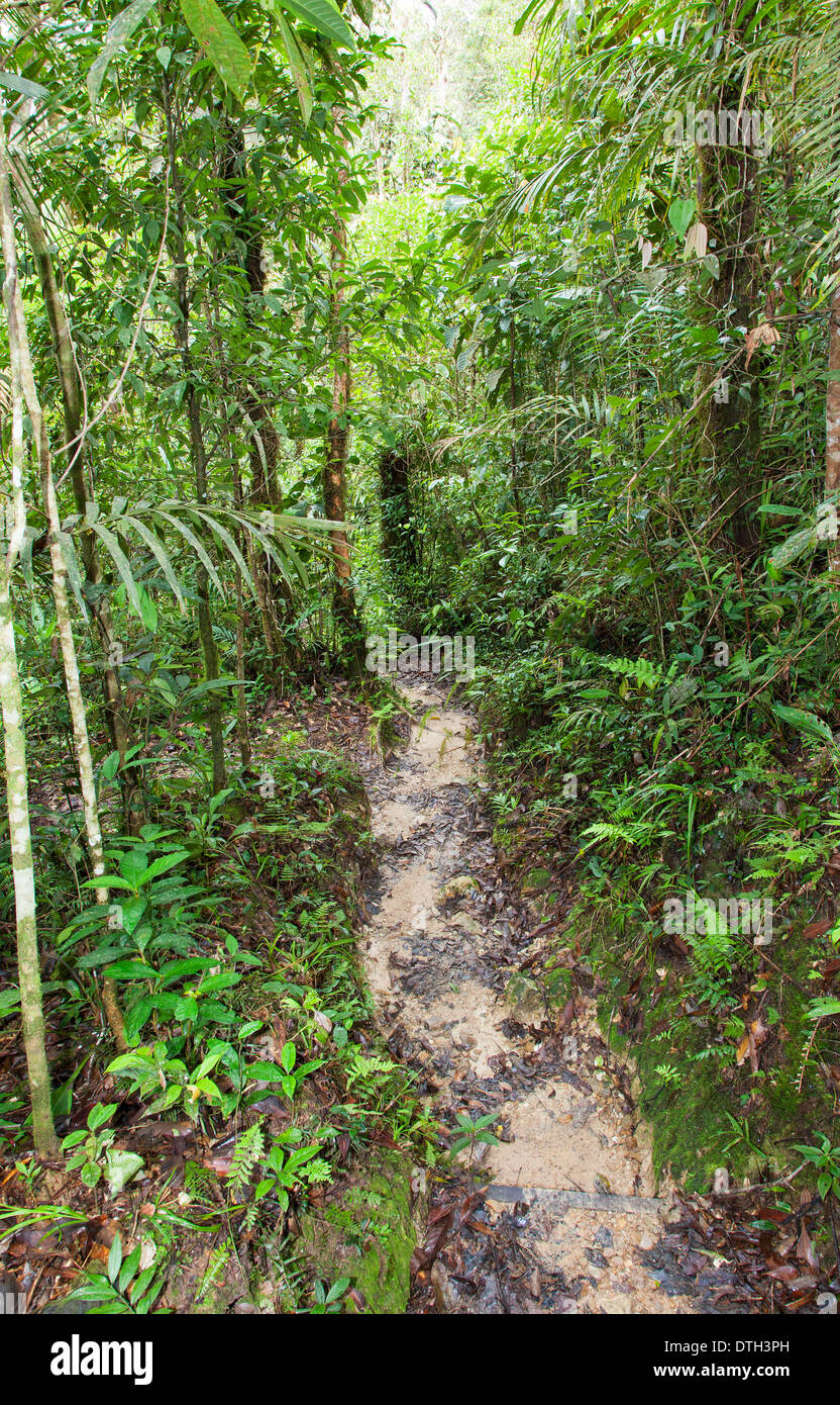A Trail in the Rainforest in Mount Kinabalu Park, Borneo, Malaysia - Stock Image