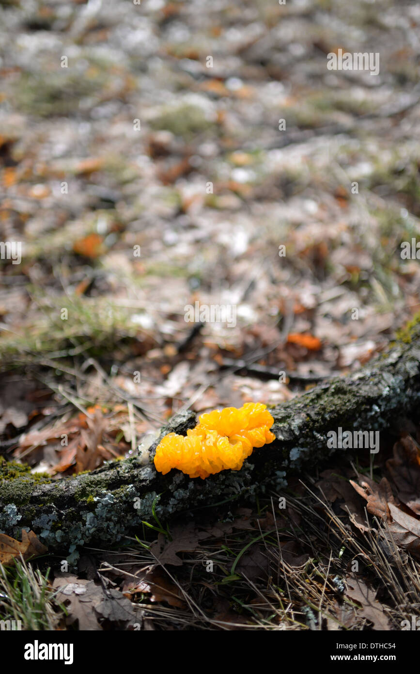 Tremella mesenterica is a common jelly fungus in the Tremellaceae family - Stock Image
