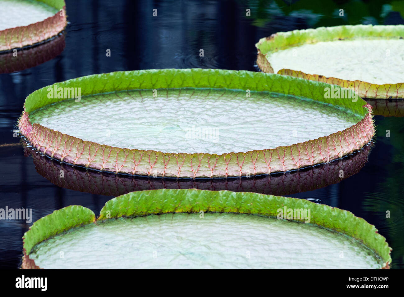 Giant Water Lilly Pad - Stock Image