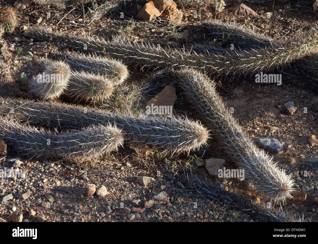 Creeping Devil Cactus pitayo chirinola Stenocereus eruca - Stock Image