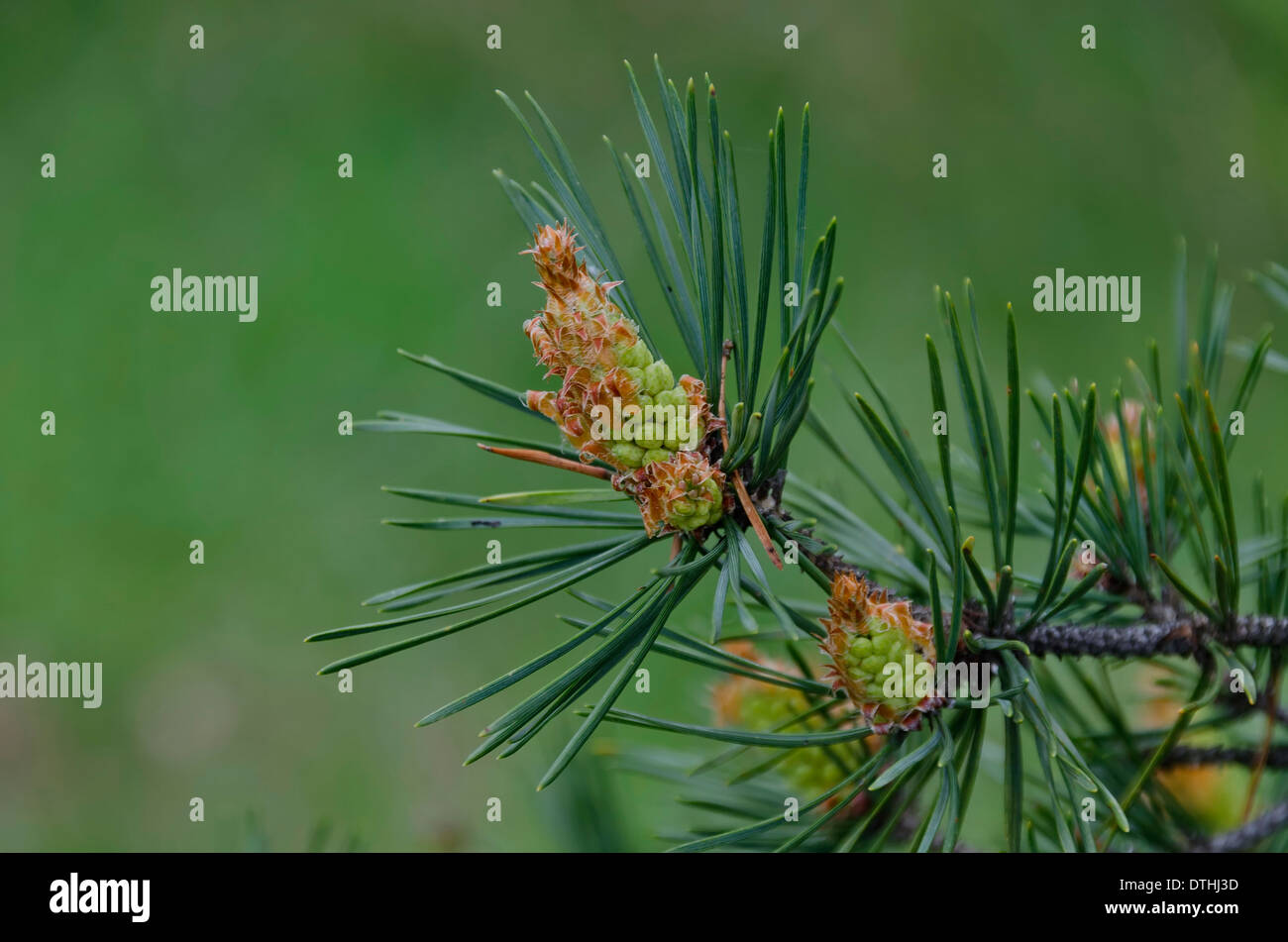 Pine green spring cone in mountain conifer - Stock Image