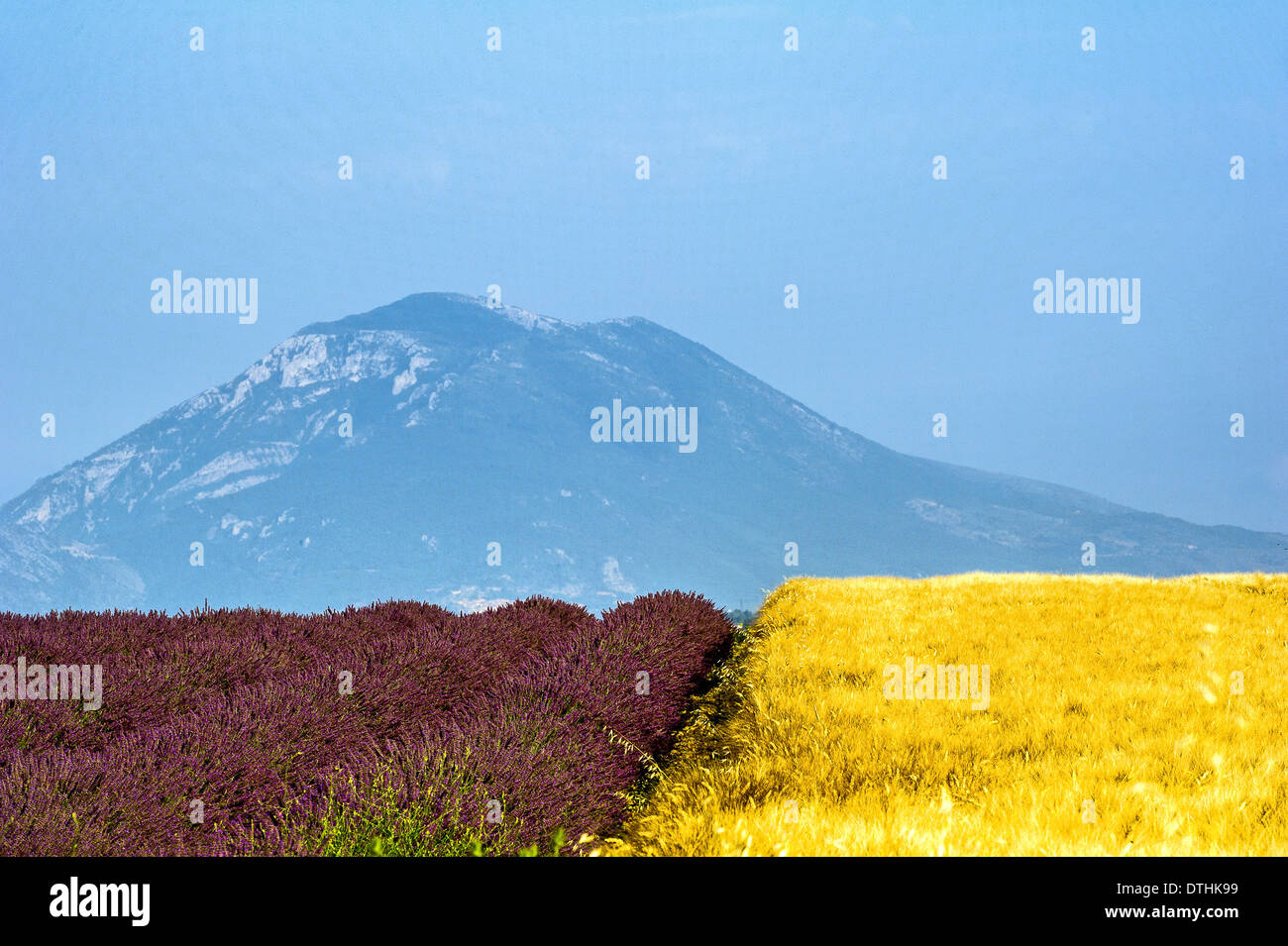 Europe, France, Alpes-de-Haute-Provence, 04, Regional Natural Park of Verdon, Valensole. Field of lavender and wheat. - Stock Image