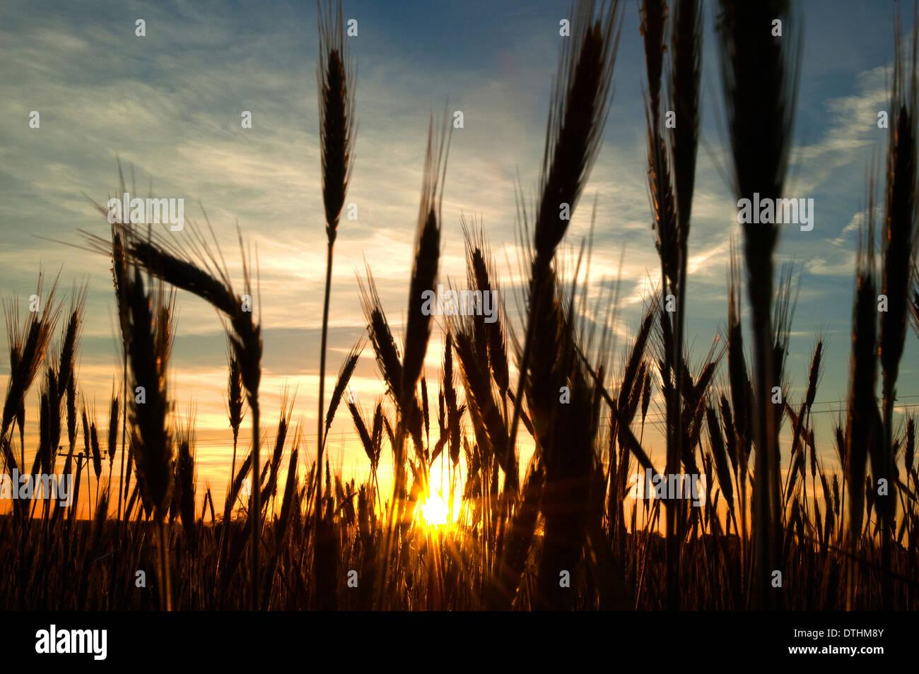 wheat field at sunrise - Stock Image