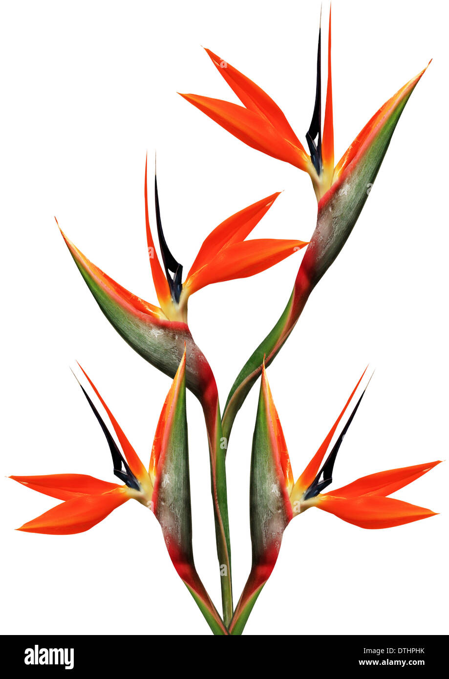 bouquet of flowers bird of paradise on a white background Stock ...