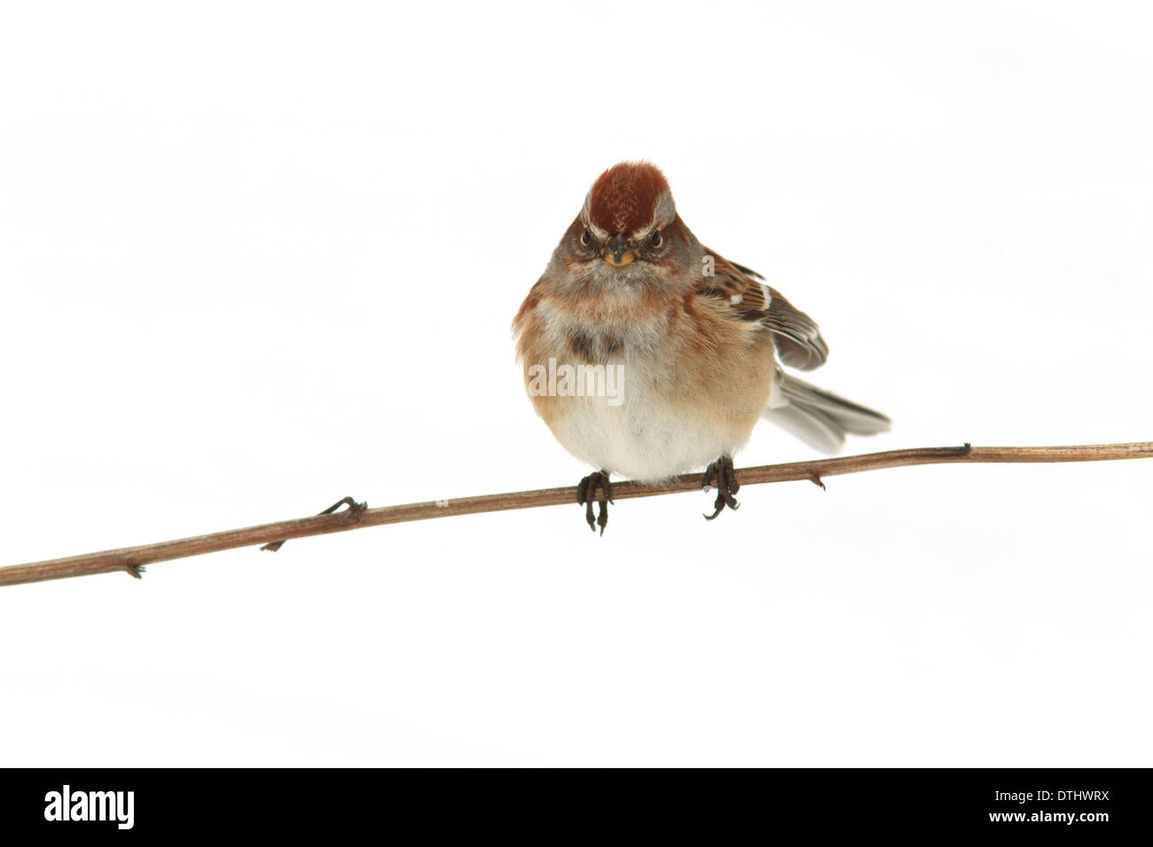 American tree sparrow (Spizella arborea) on a tree branch with snow behind it. - Stock Image