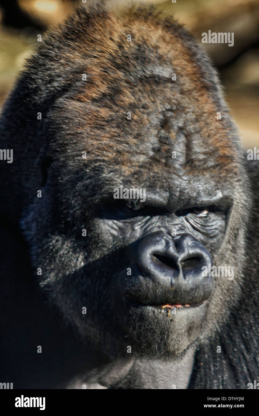 silverback gorilla face portrait stock photo 66777724 alamy. Black Bedroom Furniture Sets. Home Design Ideas