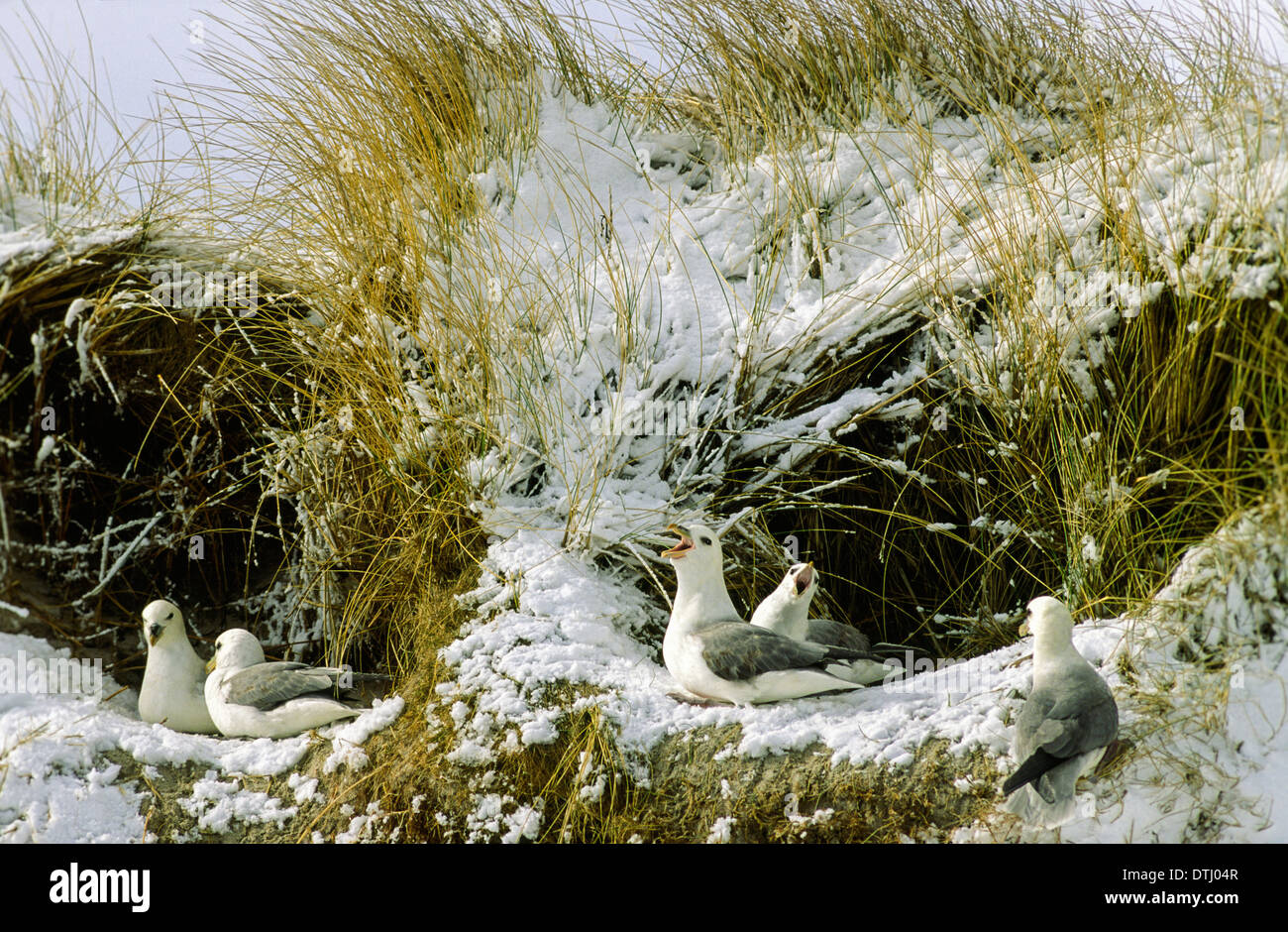 FULMARS [ FULMARUS ] NESTING IN  A BANK COVERED WITH SNOW IN THE ORKNEY ISLANDS - Stock Image