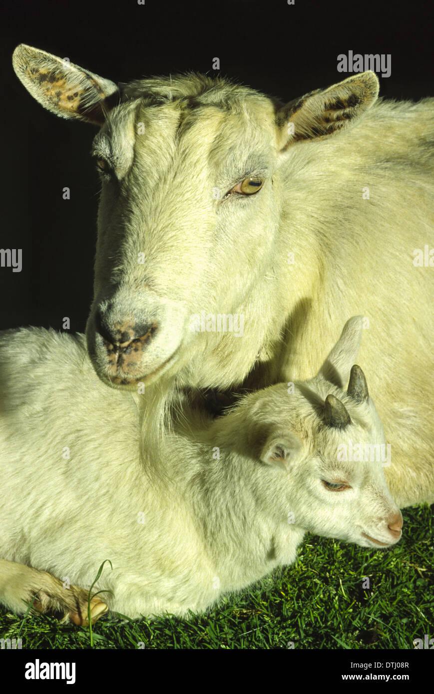 NANNY GOAT  (Capra aegagrus hircus)  RESTING WITH YOUNG KID - Stock Image