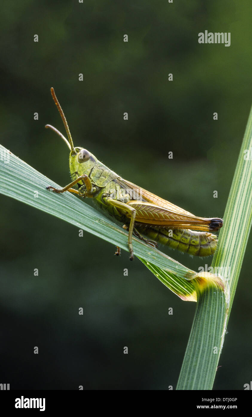 MEADOW  GRASSHOPPER [Chorthippus parallelus] RESTING ON A BLADE OF GRASS IN THE UK - Stock Image